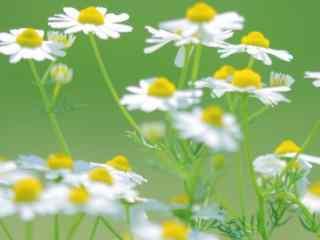 雏菊花_雏菊花花语_雏菊图片_雏菊花品种_雏菊植物壁纸