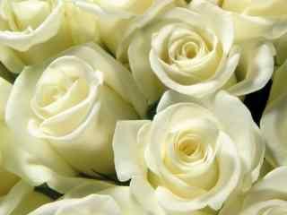 纯洁白色花朵的世界_栀子花_雏菊_茉莉_梨花桌面壁纸
