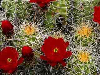 沙漠绿洲仙人掌_仙人掌花朵_仙人掌果实_彩色仙人掌壁纸