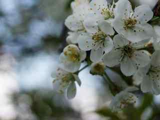 梨花_梨花植物_梨花品种_梨花图片_梨花植物壁纸