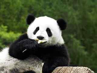 国宝大熊猫_呆萌可爱的大熊猫_野生大熊猫_大熊猫相关电影壁纸