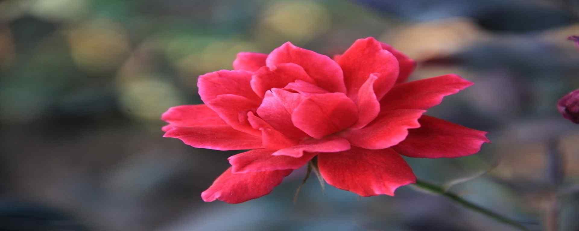月季花_月季花图片_月季花品种_月季花植物壁纸