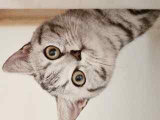 美国短毛猫_短毛猫_萌萌哒美短_可爱的美国短毛猫壁纸