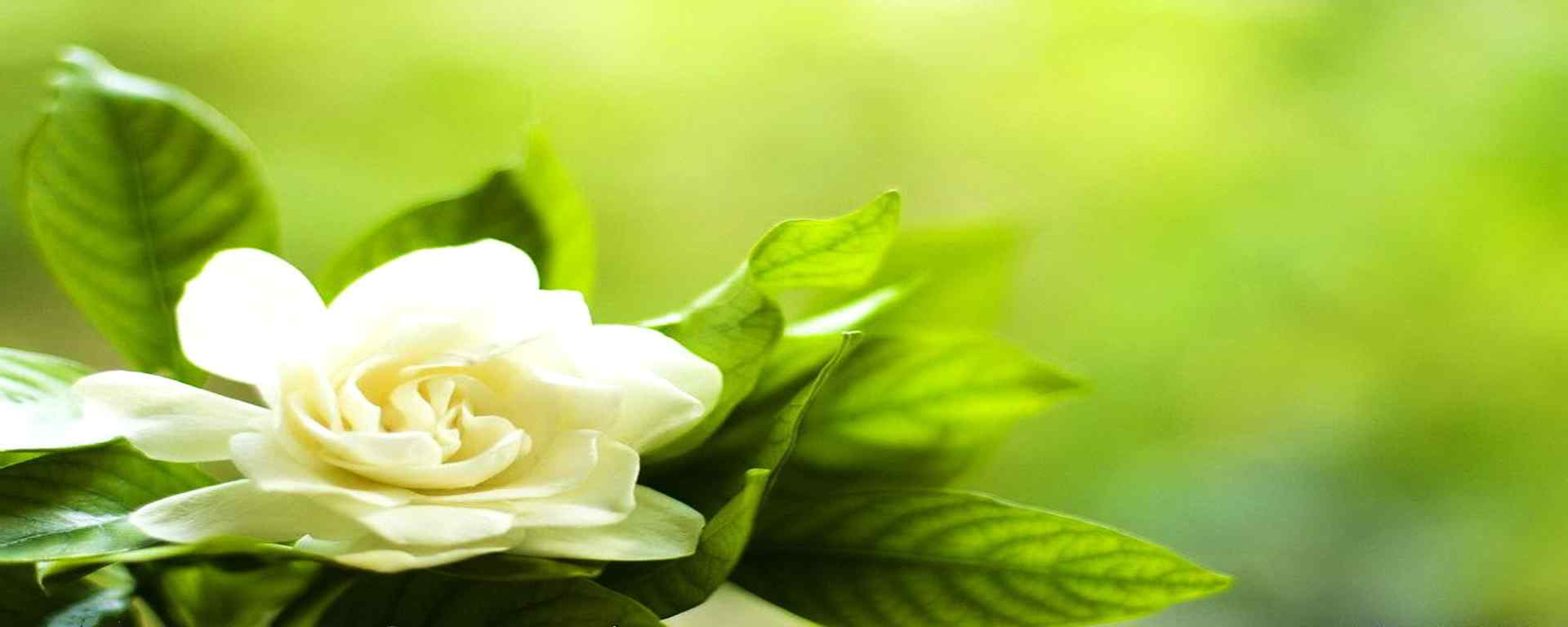 栀子花_栀子花图片_栀子花花语_栀子花植物壁纸