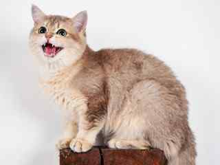 英国短毛猫_短毛猫_萌萌哒可爱英短_可爱的英国短毛猫壁纸