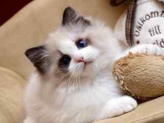 布偶猫_萌萌哒可爱布偶猫_布偶猫图片_仙女猫_可爱的布偶猫壁纸