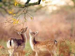 可爱的小鹿_森林梅花鹿_长颈鹿高清电脑桌面壁纸