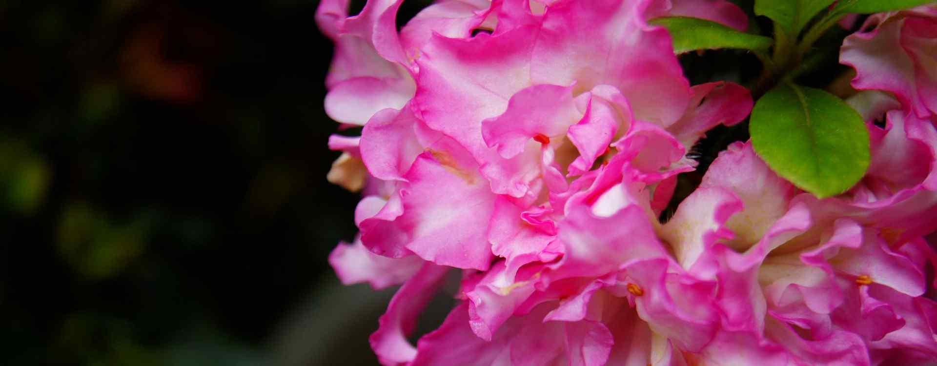 杜鹃花_杜鹃花图片_白杜鹃、映山红_杜鹃花语_杜鹃花植物壁纸