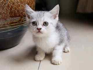 短毛猫_英国短毛猫、美国短毛猫、东方短毛猫_可爱的短毛猫_短毛猫动物壁纸