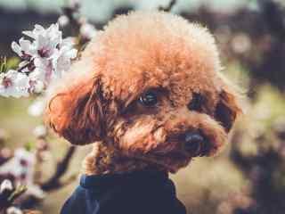 泰迪狗_泰迪狗彩铅画_可爱的泰迪狗图片_泰迪狗动物壁纸