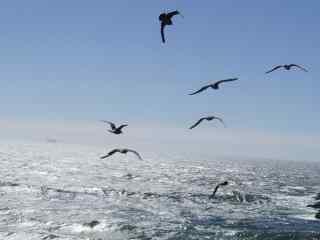 海鸟_翱翔的海鸥_精选海鸥桌面壁纸