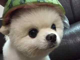 博美犬_博美犬图片_可爱小博美_英系博美_博美犬动物壁纸