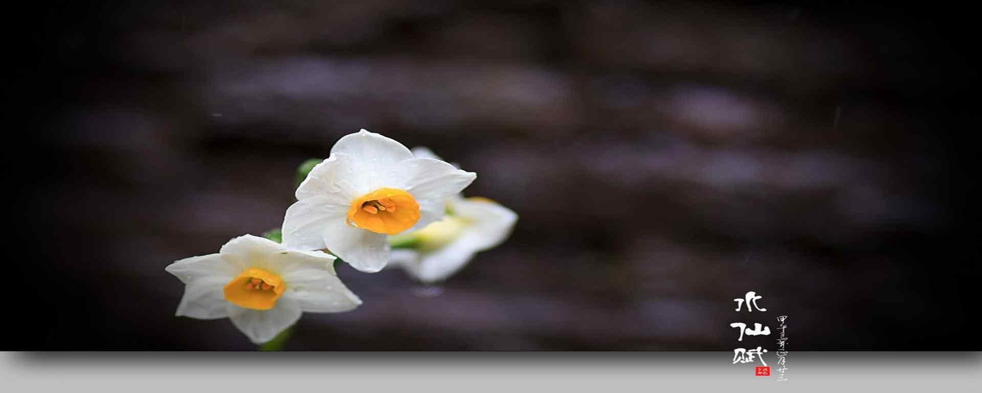 水仙花_水仙花的花语_水仙花开_水仙花图片_水仙花植物壁纸
