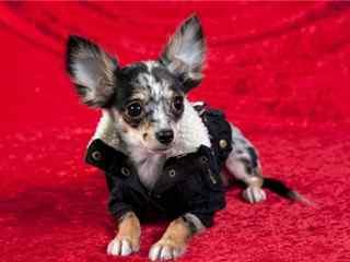 吉娃娃_吉娃娃茶杯犬_可爱的吉娃娃_吉娃娃图片_吉娃娃动物壁纸