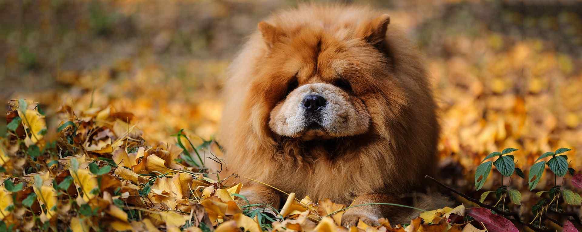 松狮犬_獢獢_可爱的松狮犬_松狮犬图片_松狮犬动物壁纸