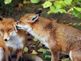 狐狸_丛林草原狐狸_白狐_可爱的小狐狸高清壁纸