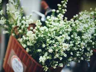 满天星_小清新满天星图片_唯美满天星花_满天星花语_满天星植物壁纸
