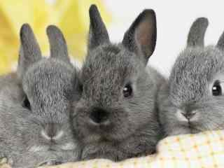 兔子_可爱的小白兔_宠物兔_萌兔子高清电脑壁纸