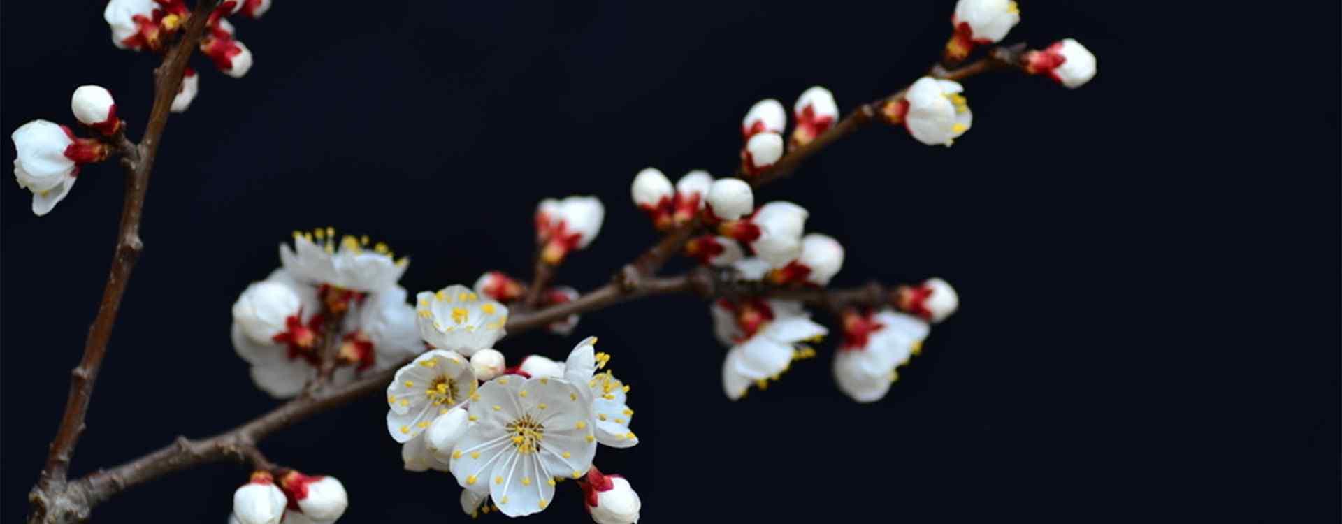 杏花_美丽的杏花_唯美的杏花_小清新杏花_杏花树_杏花植物壁纸