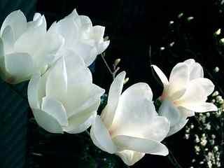 玉兰花_美丽的玉兰花图片_玉兰花桌面壁纸_玉兰花植物壁纸