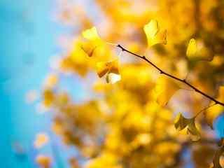 银杏_暖色调银杏桌面壁纸_美女银杏手机壁纸_银杏植物壁纸
