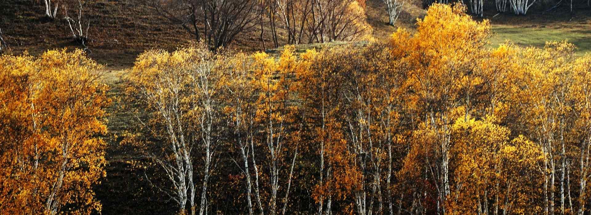 白桦林_白桦树图片_白桦林桌面壁纸_白桦林手机壁纸_白桦林风景壁纸