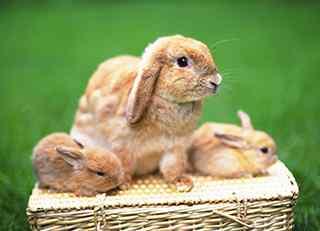 垂耳兔_迷你垂耳兔_英国垂耳兔图片_荷兰垂耳兔图片_垂耳兔桌面壁纸_垂耳兔手机壁纸_萌宠图片_动物壁纸