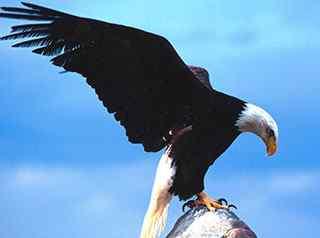 鹰_鹰的图片_老鹰图片_老鹰桌面壁纸_老鹰手机壁纸_老鹰捕猎图片_动物壁纸