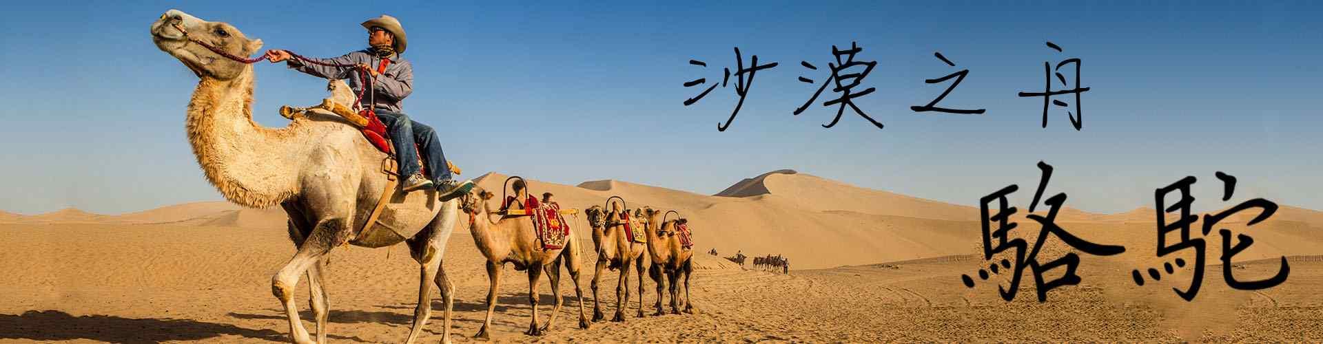 骆驼_骆驼图片_沙漠骆驼图片_骆驼桌面壁纸、手机壁纸_骆驼动物壁纸