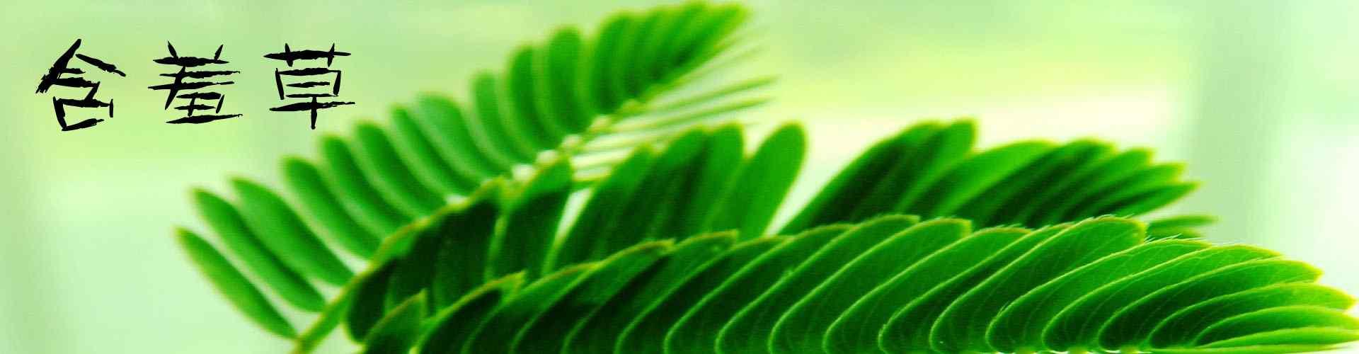 含羞草_含羞草图片_含羞草花图片_含羞草桌面壁纸、手机壁纸_植物壁纸