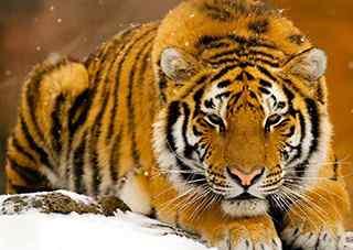 万兽之王-老虎_老虎图片_白虎图片_老虎桌面壁纸_老虎手机壁纸_雪地里的老虎图片_动物壁纸