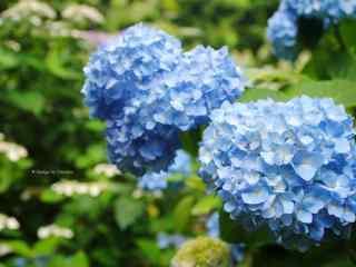 绣花球_绣花球图片_紫阳花图片_八仙花图片_绣球花花语_植物壁纸