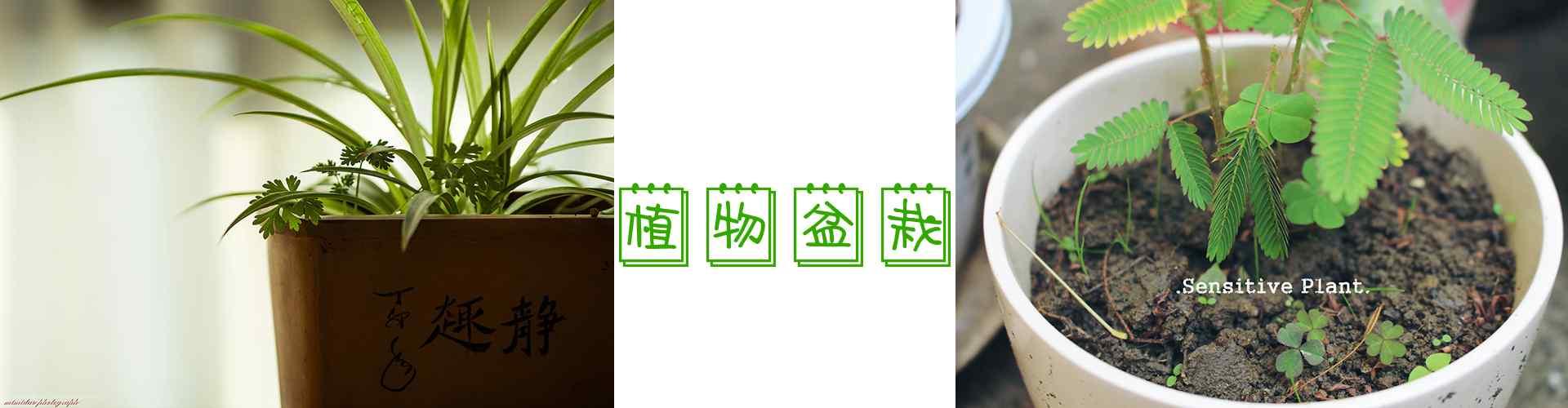 绿色植物盆栽_盆栽图片_薄荷图片_君子兰图片_吊兰图片_多肉图片_发财树图片_植物壁纸