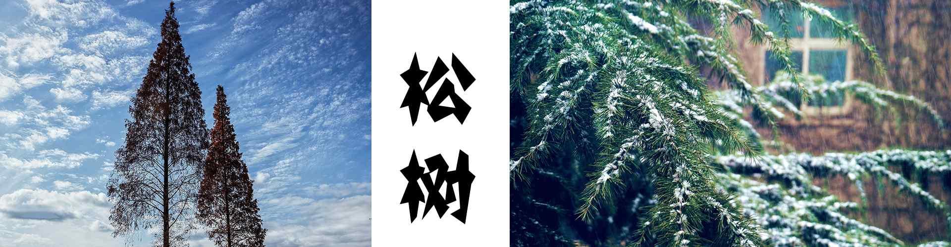 绿色松树_松树图片_大松树_松树盆栽_小松树_松针图片_植物壁纸