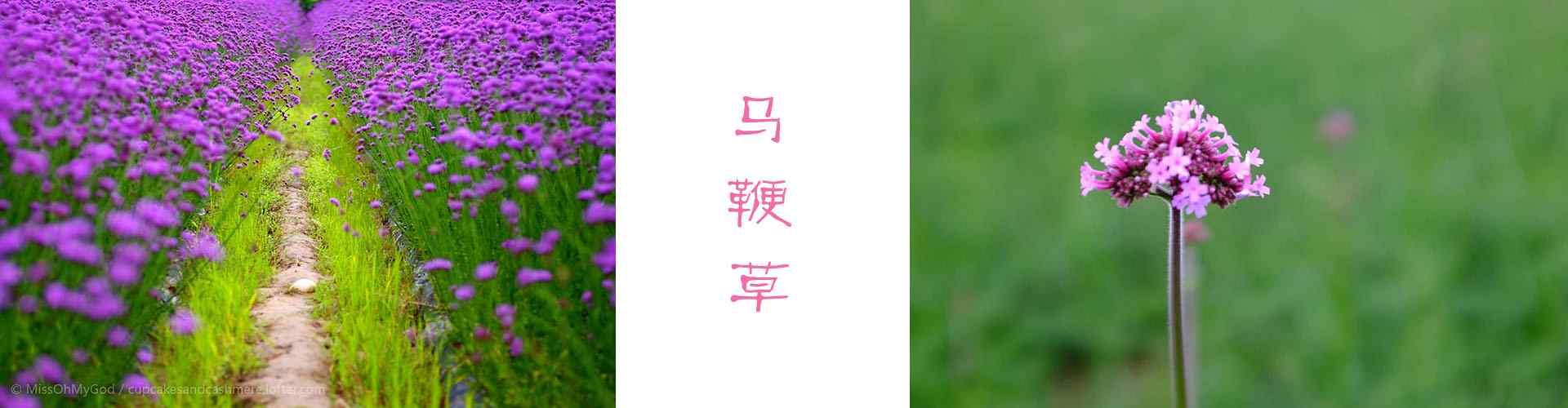 马鞭草_马鞭草图片_唯美马鞭草图片壁纸_鲜花图片大全_植物壁纸