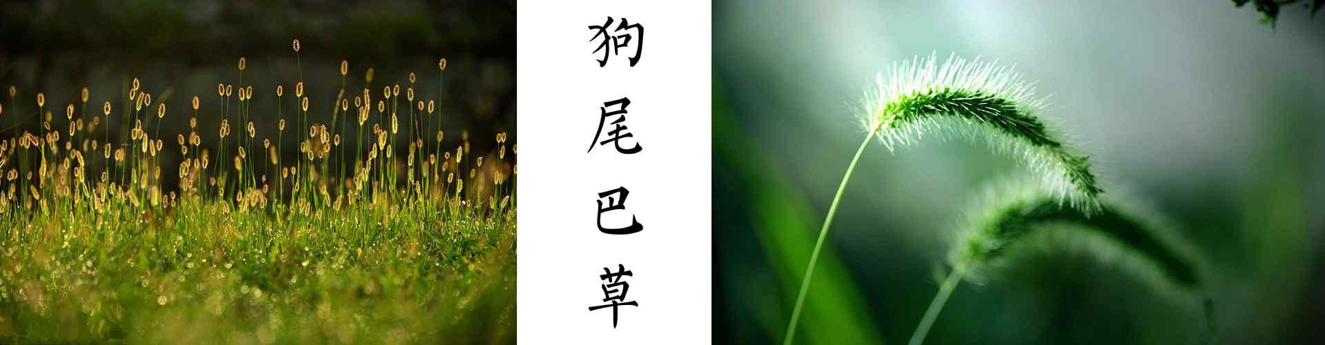 狗尾(wei)巴tong)狗尾(wei)巴tong)萃計(ji)唯美(mei)狗尾(wei)巴tong)萃計(ji) 謚鮮花圖ji) 筧植物壁紙