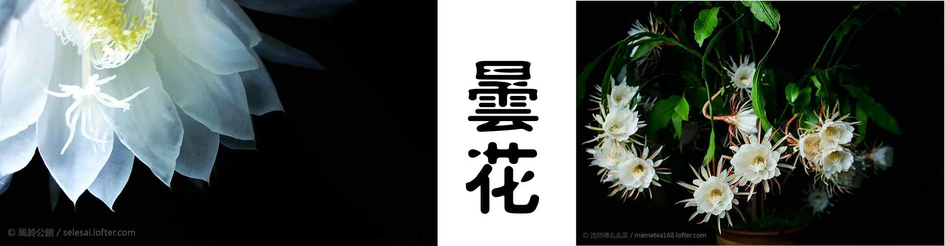 曇花(hua)_曇花(hua)圖片_曇花(hua)一現_鮮(xian)花(hua)圖片大全_植(zhi)物壁紙