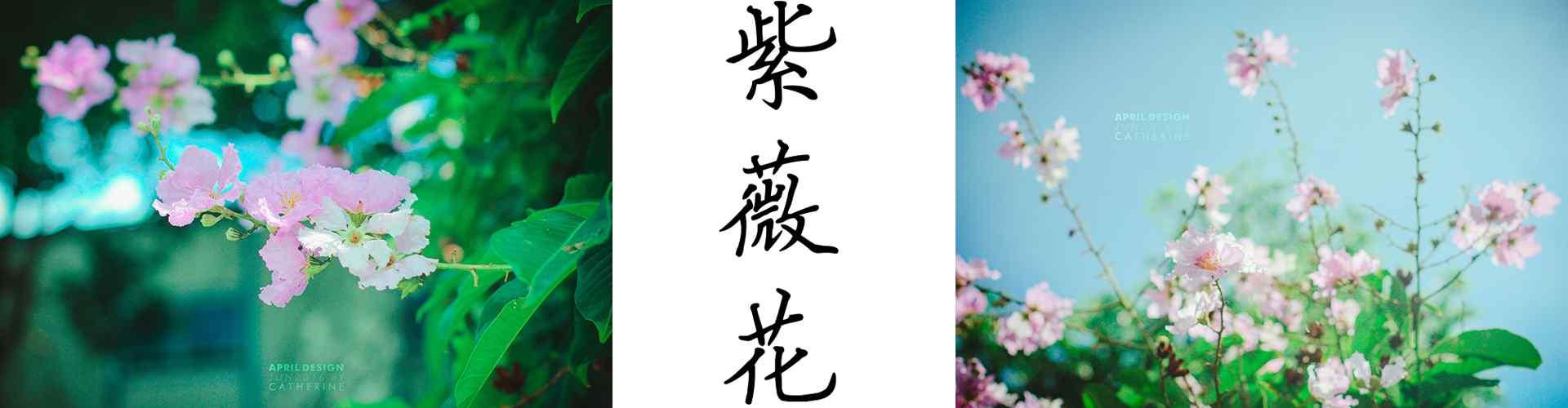 紫薇花_紫薇花圖(tu)片_紫薇花花語寓(yu)意_鮮花圖(tu)片大全_植物壁紙