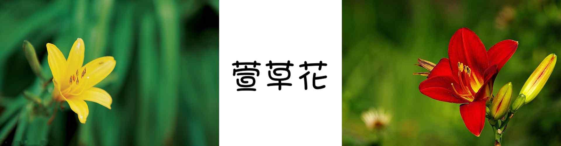 萱草_大萱草花_萱草花花語寓意_鮮花圖片大全_植物壁紙
