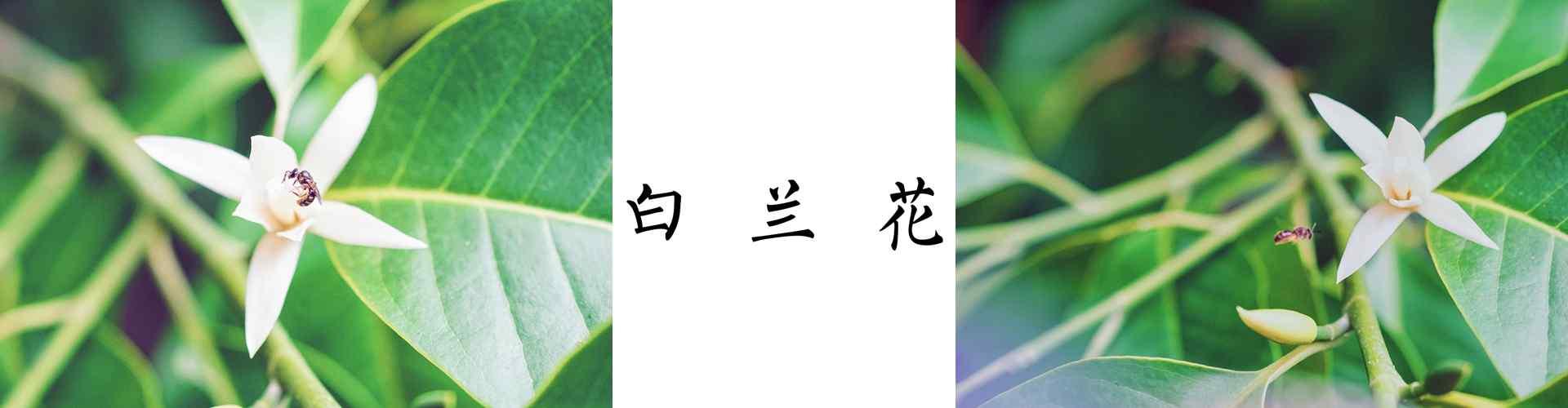 白兰花_白兰花图片_白兰花花语寓意_鲜花图片大全_植物壁纸