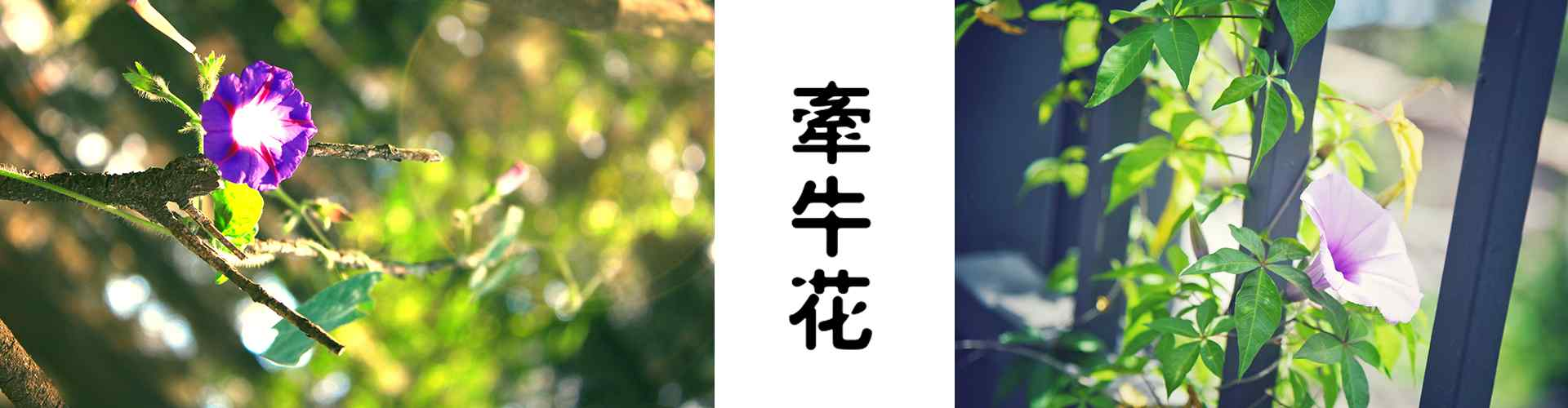 牽牛花_牽牛花圖片_牽牛花花語寓(yu)意(yi)_喇(la)叭花圖片_鮮花圖片大全
