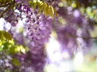 紫藤萝_紫藤罗花图片_紫藤萝瀑布_植物壁纸_鲜花图片大全
