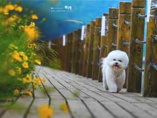 可爱的比熊_比熊图片_可爱狗狗图片大全_比熊图片壁纸_可爱动物壁纸