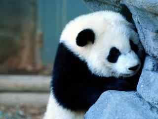 熊猫图片_功夫熊猫图片_熊猫壁纸_熊猫宝宝图片