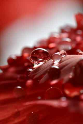 唯美红色露水手机