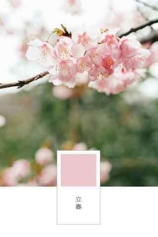 立春节气之粉嫩的梅花盛开图片手机壁纸