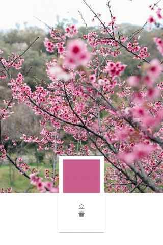 立春节气壁纸之盛开的娇艳梅花图片