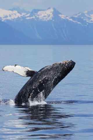 帅气鲸鱼跃出水面蓝色背景清新治愈手机壁纸