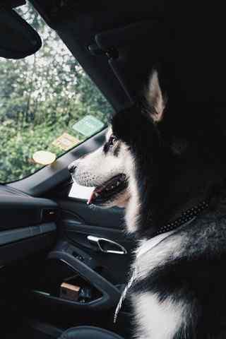想要开车的阿拉斯加犬手机壁纸