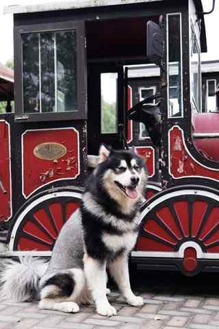 站在小火车外的阿拉斯加犬手机壁纸